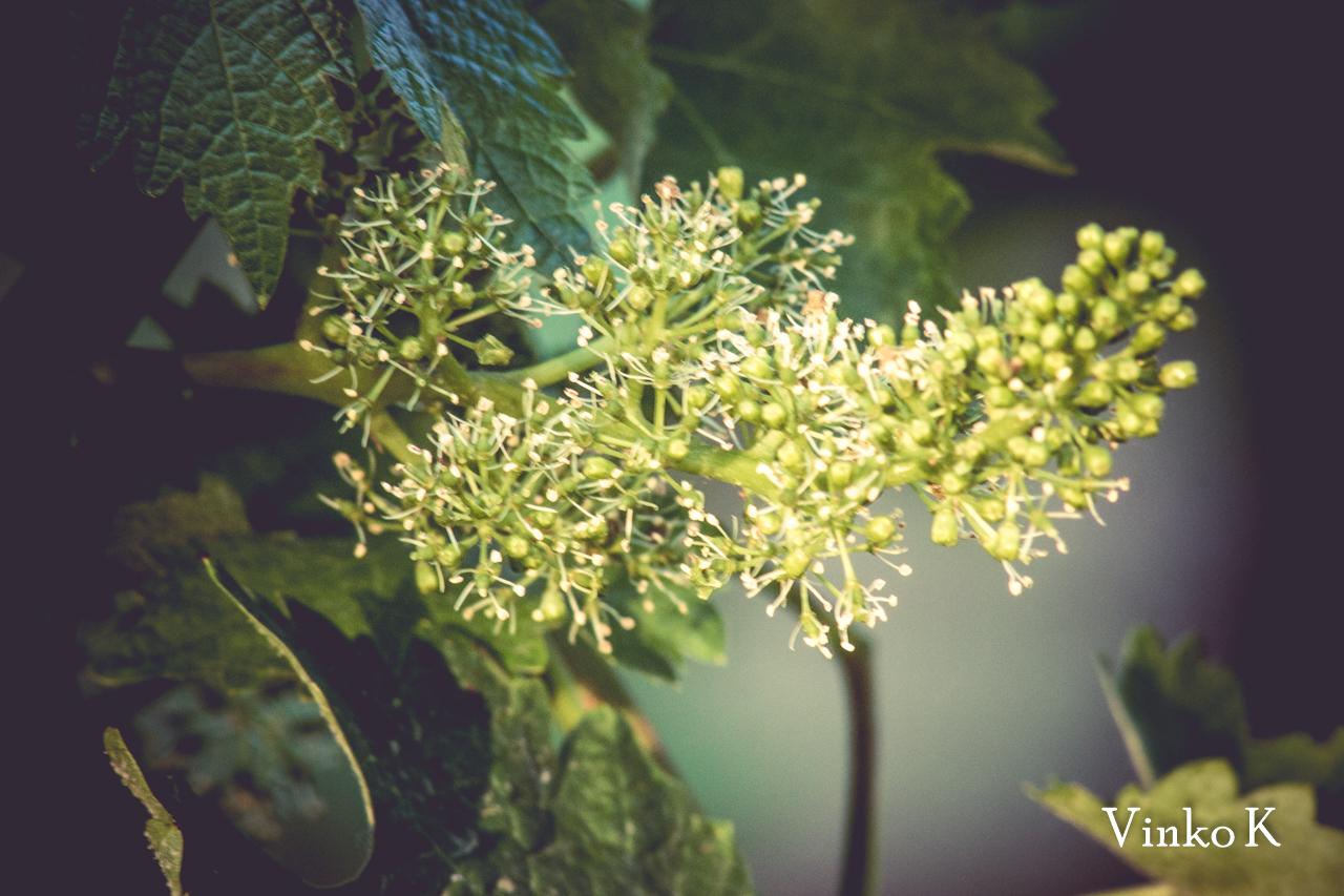 Vegetacija vinograda