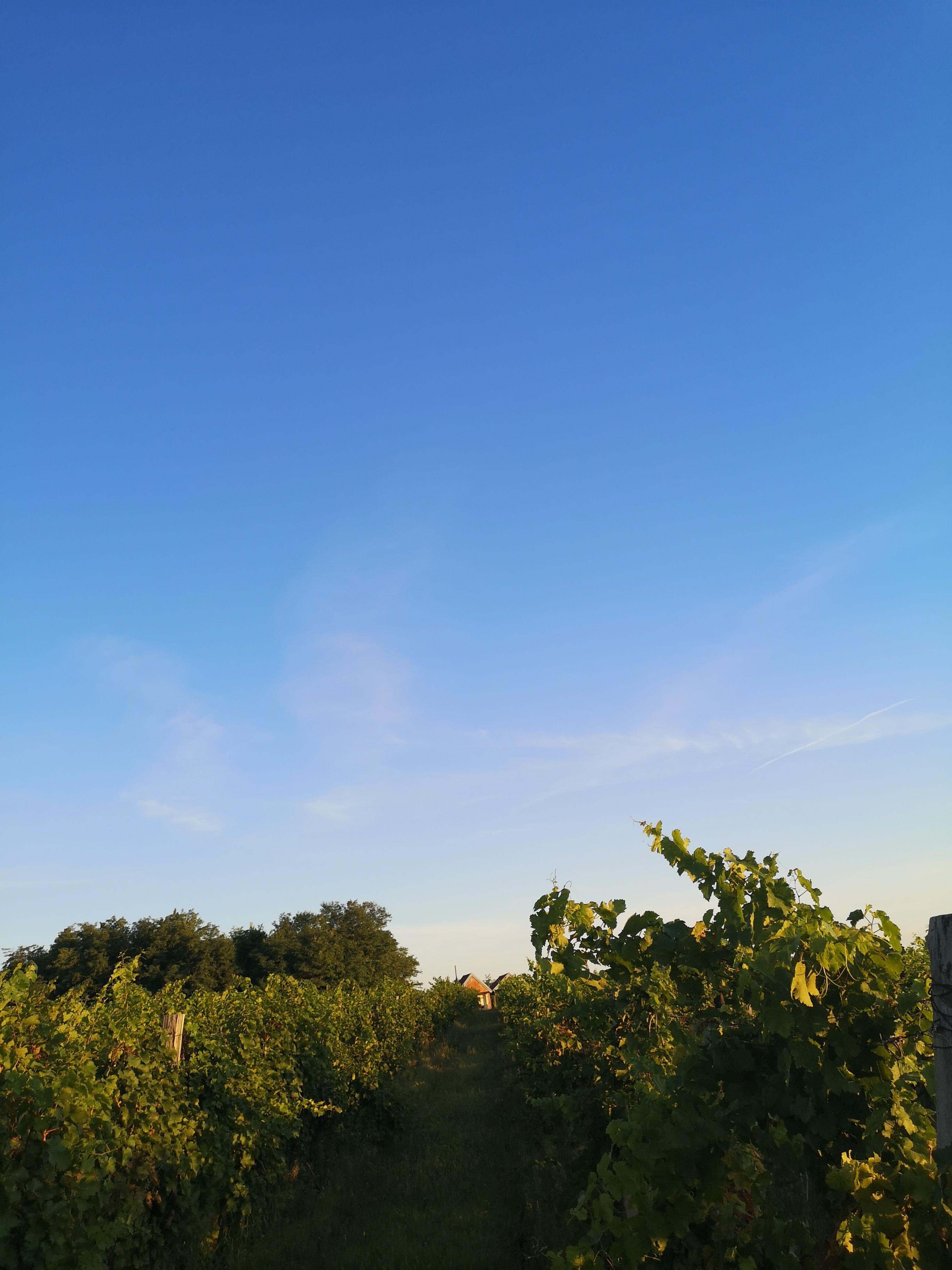Proizvodnja vina: uzgoj vinove loze i berba grožđa